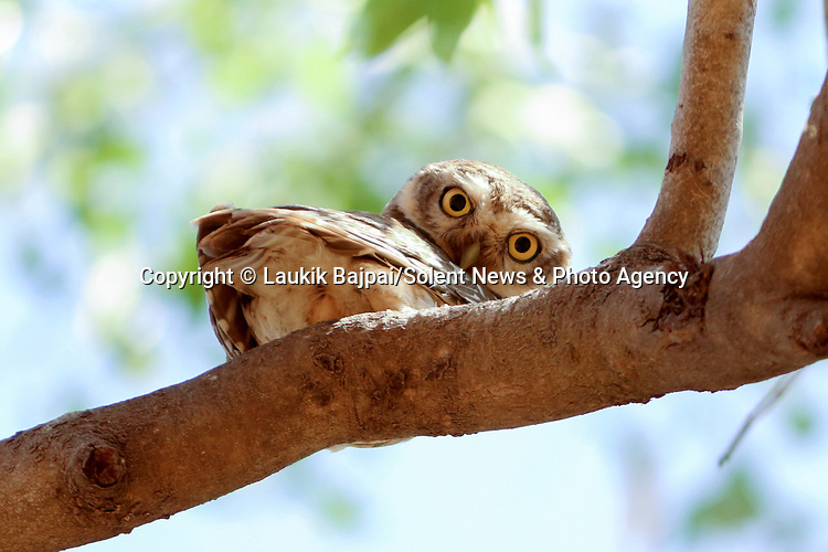 "SEE MAIN IMAGE:  PEEK-T-WOO...... A spotted owlet pears down from under a tree branch and gives a watching photographer a curious glare.<br /> <br /> The unusal image was captured along the banks of the Rancharda lake near Ahmedabad, India by marketing and sales manager Laukik Bajpai, 29.<br /> <br /> Laukik said, ""It was a bit like hide and seek.  The owlet was trying to take cover behind some branches while watching my movements and probably wondered why I was so close to the nest.""<br /> <br /> ""The spotted owlet is a small owl which breeds in tropical Asia from mainland India to Southeast Asia. They are a common resident of open habitats and have adapted to living in cities.  They roost in small groups in the hollows of trees or in cavities in rocks or building and nests in a hole in a tree or building, laying 3–5 eggs.""<br /> <br /> ""It's rare for them to hang upside down and it was a very unique moment - I had waited for two hours in the same spot to make sure I wouldn't frighten him.""<br /> <br /> Please byline: Laukik Bajpai/Solent News<br /> <br /> © Laukik Bajpai/Solent News & Photo Agency<br /> UK +44 (0) 2380 458800"