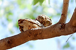 """SEE MAIN IMAGE:  PEEK-T-WOO...... A spotted owlet pears down from under a tree branch and gives a watching photographer a curious glare.<br /> <br /> The unusal image was captured along the banks of the Rancharda lake near Ahmedabad, India by marketing and sales manager Laukik Bajpai, 29.<br /> <br /> Laukik said, """"It was a bit like hide and seek.  The owlet was trying to take cover behind some branches while watching my movements and probably wondered why I was so close to the nest.""""<br /> <br /> """"The spotted owlet is a small owl which breeds in tropical Asia from mainland India to Southeast Asia. They are a common resident of open habitats and have adapted to living in cities.  They roost in small groups in the hollows of trees or in cavities in rocks or building and nests in a hole in a tree or building, laying 3–5 eggs.""""<br /> <br /> """"It's rare for them to hang upside down and it was a very unique moment - I had waited for two hours in the same spot to make sure I wouldn't frighten him.""""<br /> <br /> Please byline: Laukik Bajpai/Solent News<br /> <br /> © Laukik Bajpai/Solent News & Photo Agency<br /> UK +44 (0) 2380 458800"""