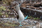 Male blue-footed boobies show off their feet in a fascinating mating dance.  The marine birds shift from one foot to another in an attempt to attract a female mate - and could give Elvis Presley and his Blue Suede Shoes a run for his money.<br /> <br /> The colour of the boobies' distinctively bright-blue feet indicates how able a hunter they are - an attractive quality to the opposite sex.  Photographer Peter Cooper captured the shots on a dream trip to the Galapagos Islands, off the coast of Ecuador.  SEE OUR COPY FOR DETAILS.<br /> <br /> Please byline: Peter Cooper/Solent News<br /> <br /> © Peter Cooper/Solent News & Photo Agency<br /> UK +44 (0) 2380 458800