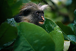 A portrait of a red colobus monkey in Zanzibar, Tanzania.