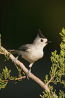 Black-crested Titmouse, Baeolophus atricristatus, adult on Mountain Cedar (Juniperus ashei), Uvalde County, Hill Country, Texas, USA