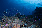 Diver on a reef in Tubbataha, schools of fish, Moorish Idols, pink Anthias