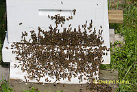 1B18-511z  Honeybees swarming to find new home at entrance of old hive, Apis mellifera