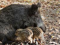 Wildschwein, Wild-Schwein, Schwarzwild, Bache säugt Frischlinge, Frischling, Sus scrofa, Wild boar, Sanglier d´Europe