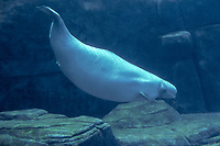 beluga whale, Delphinapterus leucas, a resident of Arctic waters (c)