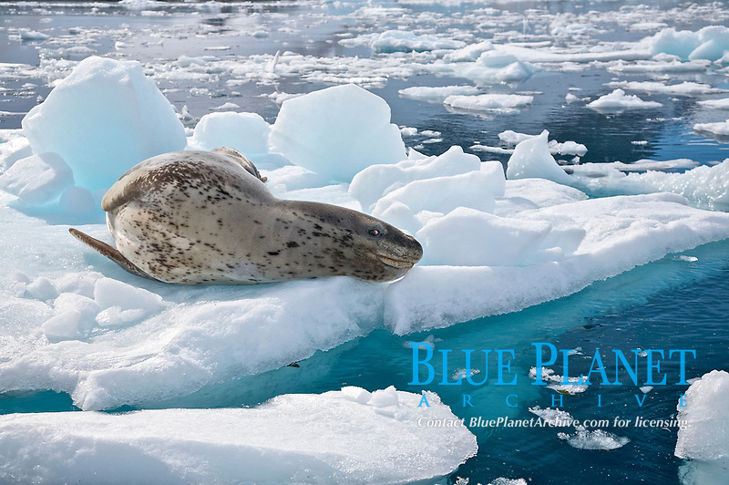 The Leopard seal (Hydrurga leptonyx) is the second largest species of seal in the Antarctica, Antarctic Ocean