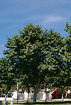15762-CD California Sycamore, Platanus racemosa, growing in lawn in park in June at Monterey, CA USA