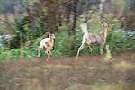 White-tailed deer doe and fawn, Washington, USA