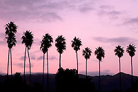 Palm tree silhouettes along Cabrillo Blvd. in Santa Barbara, California at sunset