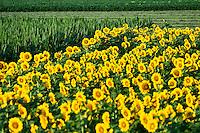 Sunflower field, Helianthus annuus