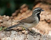 Black-throated sparrow adult on log