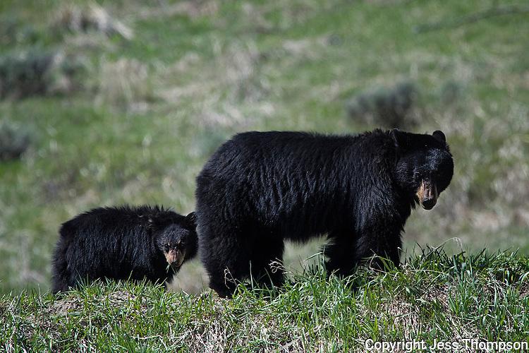 Black Bear and Cub, Yellowstone National Park