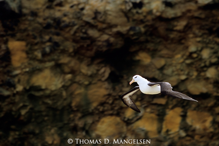 Black-browed Albatross (Thalassarche melanophris) New Island