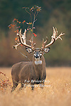 Whitetail Deer Pictures