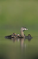 Pied-billed Grebe, Podilymbus podiceps,adult with young on back, Willacy County, Rio Grande Valley, Texas, USA