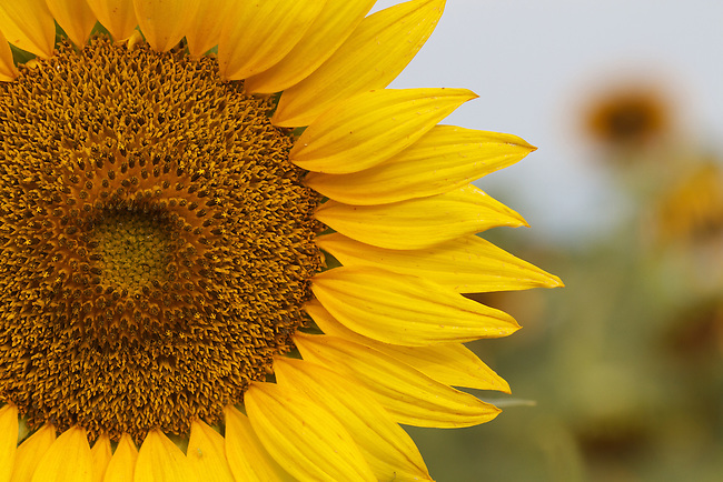 A sunflower blooming in mid-summer