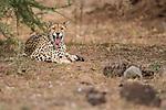 Male Cheetah (Acinonyx jubatus) transient animal patrolling territory. Ndarakwai, lower slopes of Kilimanjaro, Tanzania. April 2014