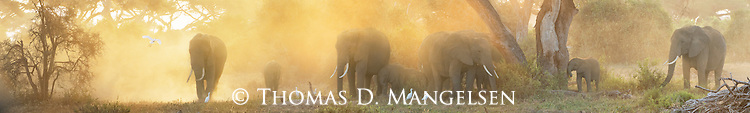 A matriarchal herd kicks up dust as they feed under the acacia trees at sunrise in Amboseli National Park in Kenya.