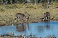 Africa, Botswana, Okavango Delta, Khwai private reserve. Waterbuck.