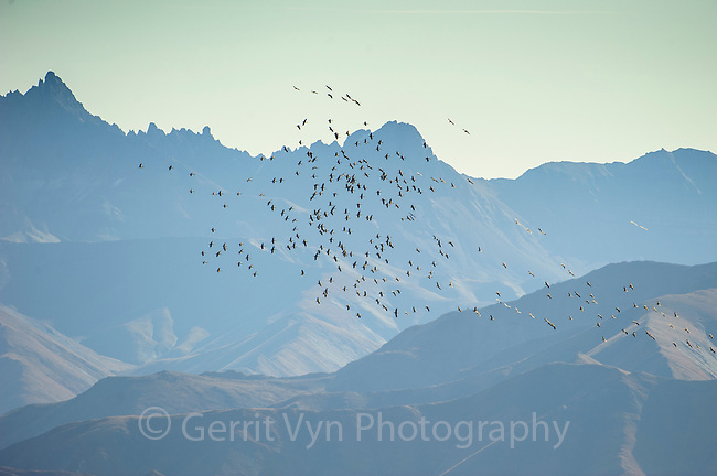 """""""Lesser"""" Sandhill Cranes (Grus canadensis) riding thermals in migration along the Alaska Range near Mt. McKinley. These birds are from the mid-continent population that nest across  Northcentral Canada through Northern and Western Alaska and across the Bering Sea to Russian Siberia. Many follow a migration route that takes them through Denali National Park. Denali National Park, Alaska. September."""