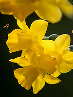Osterglocke, Bodensee - Insel Mainau, Baden-Württemberg, Deutschland, Europa<br /> daffodil, Isle of Mainau, Lake Constance, Baden-Württemberg, Germany, Europe