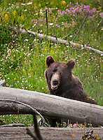 Young Grizzly Bear sitting in meadow behind a log surrounded by wildflowers in Montana