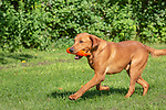 Fox red Labrador retriever returning with an orange training dummy.