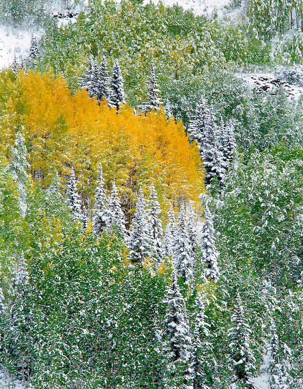 Snow and fall colored aspens in conifer forest. San Juan Mountains. Uncompahgre National Forest