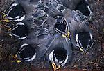 Mountain chickadee chicks in nest box, Oregon