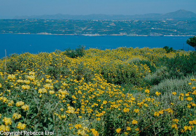 Coast with Phlomis wildflowers in yellow at Aptera, Crete
