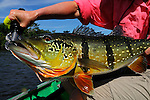 Spotted Peacock Bass on the fly 10 pound fish.  They are the second largest variety of peacock bass.