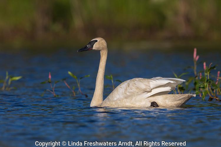Trumpeter swan in northern Wisconsin.