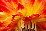 Close up of Semi-Cactus Dahlia. Point Defiance Park, Tacoma, WA boasts wonderful gardens including rose gardens, dahlia garden, native plant, rhododendron and acres of old growth forest.  Hike, bike, photograph, fish, picnic, kayak