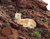 Dall sheep ewe resting