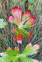 Geranium maculatum Vickie Lynn turning fall foliage color in leaves, against Festuca ornamental grass