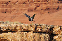 California Condor (Gymnogyps californianus) taking flight above Marble Canyon (Colorado River), Grand Canyon National Park, Arizona.
