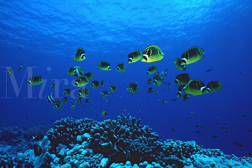 Racoon butterflyfish, Chaetodon lunula, have a dark band through their eye to confuse an attacking predator. Tuamotus, Pacific Ocean