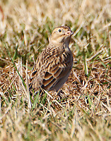 First-winter female McCown's longspur in January