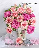 Alfredo, FLOWERS, BLUMEN, FLORES, photos+++++,BRTOLMN13207,#f#, EVERYDAY ,rose,roses