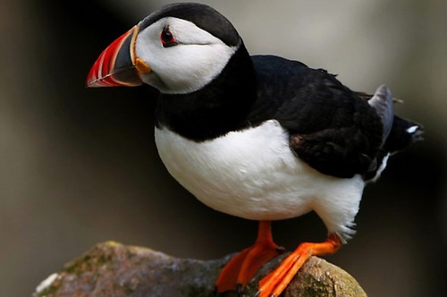 "A total of 54 Irish bird species (26%) are now on the ""red list"", indicating the ""highest status of concern"" for their populations including the Puffin (above)"