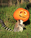 29/10/16<br /> <br /> Ring-tailed Lemur called Athena.<br /> <br /> Staff at Peak Wildlife Parkcouldn't resist the chance for a bit of Halloween clowning-around by filling a suspended pumpkin with food in their lemur enclosure in the Staffordshire Moorlands near Leek. <br /> <br /> All Rights Reserved: F Stop Press Ltd. +44(0)1773 550665   www.fstoppress.com