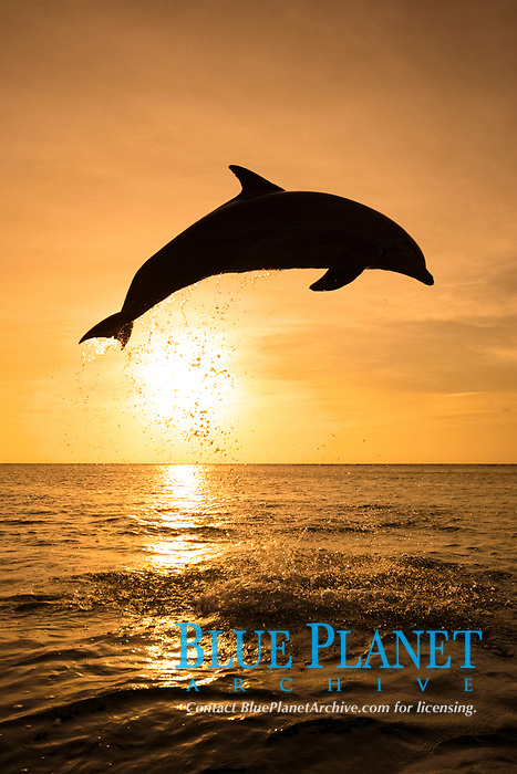 Bottle-nosed Dolphin (Tursiops truncatus), adult leaping at sunset, Roatan, Honduras, Central America, America, Central America