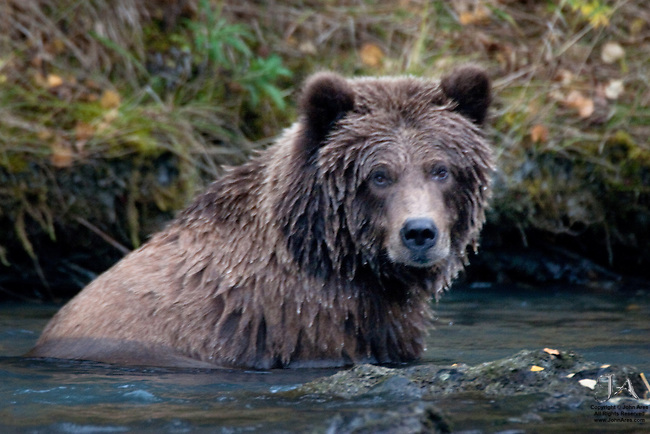 Male Grizzly Bear Cub fishing in Kenai River,Alaska. With his sister, they became famous in the town of Cooper Landing as their mother had been shot and they were orphaned at two.