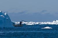 inupiaq whaler harpoons a passing bowhead whale, Balaena mysticetus, during spring whaling season, Chukchi Sea, Barrow, Arctic Alaska