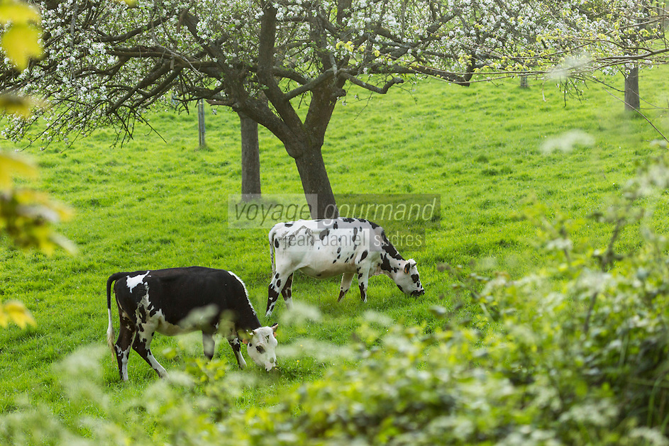 France, Calvados (14), Pays d' Auge,  Cricqueville-en-Auge: Vaches en pâturage et pommiers en fleurs // France, Calvados, Pays d' Auge, Cricqueville en Auge: Grazing cows and flowering apple trees