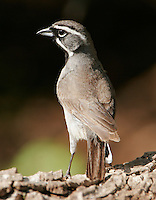 Black-throated sparrow adult standing back view