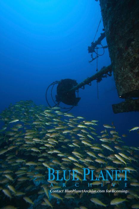 Yellowfin goat-fish (Muloidichthys vanicolensis) on the Salem Express, the wreck off Safaga, Egypt, Red sea.