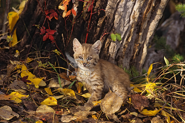 Bobcat kitten.  Western U.S., fall.