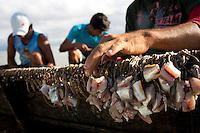 O pescador artesanal José Alfredo de Souza Costa, 31, pescador desde os doze anos, conhecido como Caburé (pássaro da região), na companhia de seus dois sobrinhos Ronilson, 17, (camisa azul), e Rainilson Costa e Costa, 12 ( camisa escura) e seu companheiro de pescaria Rivaldo preparam as isca  e o espinhel (armadilha com grande número de anzóis), nas proximidades da praia de Paxicú na Reserva Extrativista Marinha Mãe Grande localizada no litoral do Pará, na foz do rio Amazonas.<br /> Curuça, Pará, Brasil.<br /> Foto: Paulo Santos<br /> 18/02/2010