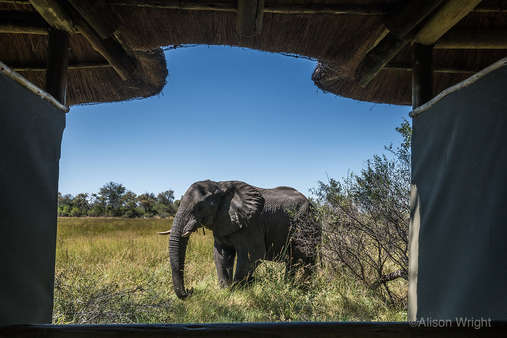 Africa, Botswana, Okavango Delta, Khwai Private Reserve. View of elephant from the toilet tent.